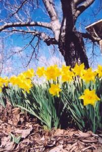 daffodilsoptimized